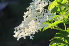 Hollerblüte 1