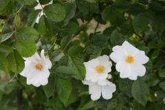 alles blüht in weiß 5 Heckenrose